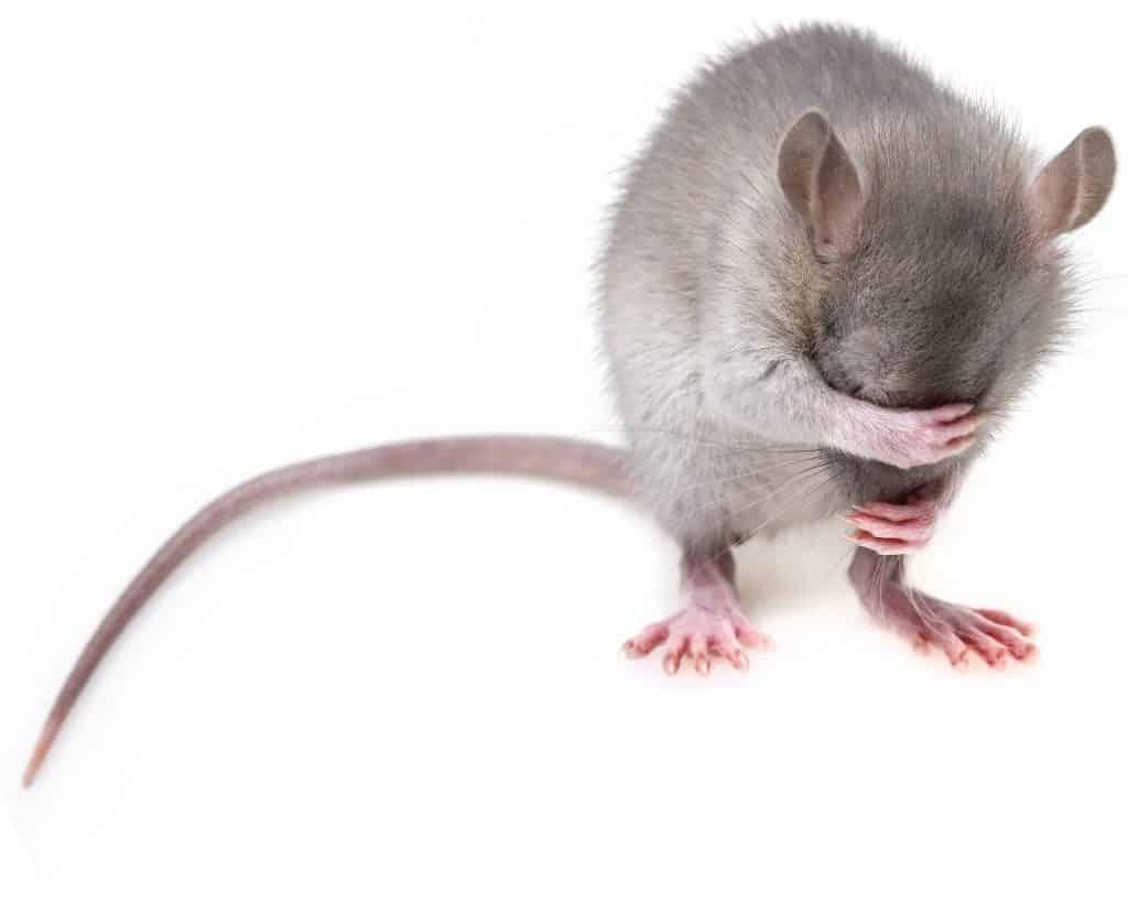 הדברת עכברים לוכד עכברים