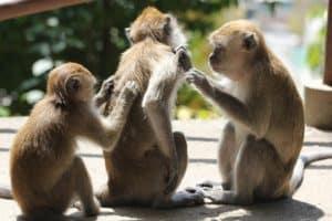 הדברת פרעושים לבד על קופים