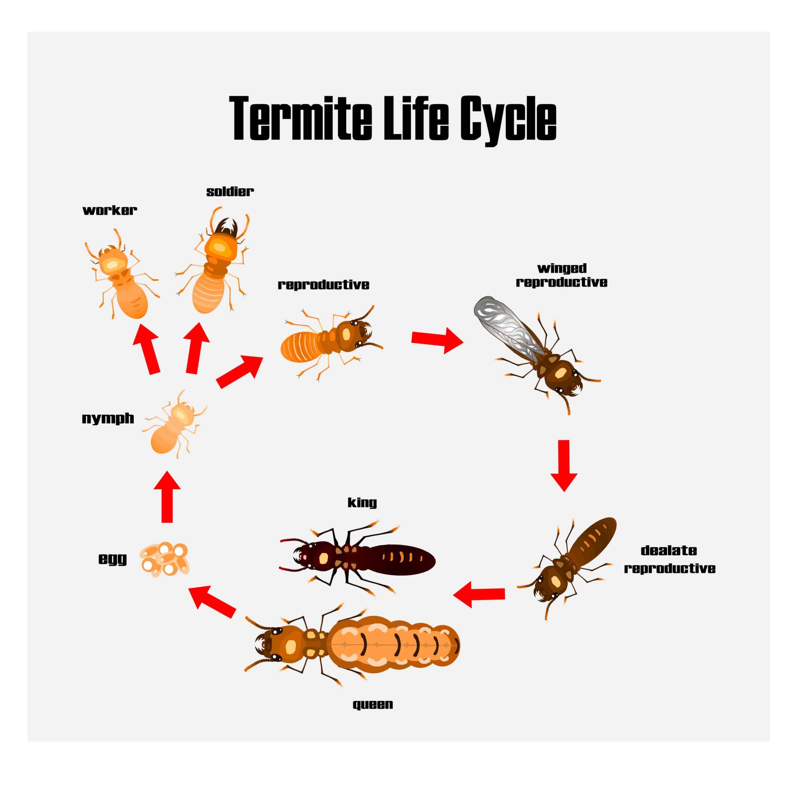 הדברת טרמיטים - מעגל חיים - מזיקיס