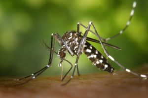 היתוש הנמר האסייאני - הדברת יתושים