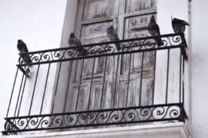יונים במרפסת